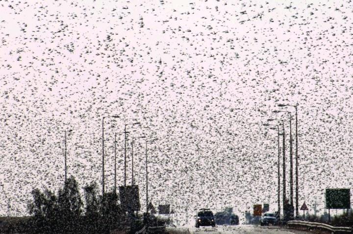 上图:2013年3月、逾越节前三周,一群蝗虫从苏丹经埃及进入以色列南地沙漠,这时以色列最近遭遇的一次蝗灾。