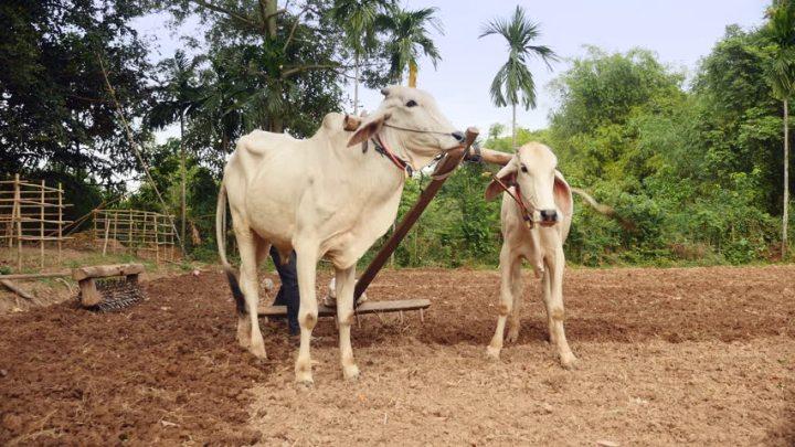 上图:印度农民用两只牛拉着带齿的木耙耙地,把大土块破碎成小土块,使土地变得平整。对于牲畜来说,耙地也比踹谷辛苦。