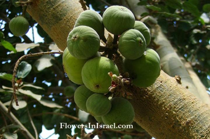 上图:西克莫无花果(Sycamore fig),与无花果很像,但没有那么甜。需要将果子划破或刺洞,促使乙烯气体增加,加快成熟。
