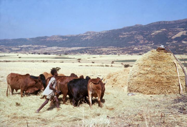 上图:非洲农民在使用牛踹谷。牲畜只要踩过麦穗,还可以一边走一边吃。对于牲畜来说,踹谷是一件相对轻松的工作,不需要负轭。
