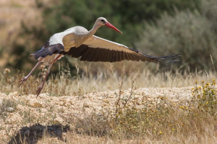 上图:以色列的白鹳,翼展可达3米。