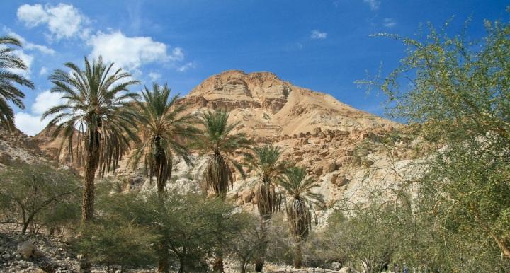 上图:隐·基底的棕树。圣经中的棕树(诗九十二12),就是犹大椰枣树(Judean date palm)。中东的椰枣树耐旱、耐碱、耐热而又喜欢潮湿,树龄可达百年。椰枣的产量高、营养价值好,被称为沙漠面包。而犹大椰枣比埃及的枣更干燥,更不易腐烂,因此适合储存和出口。犹大椰枣树是犹大国的象征。