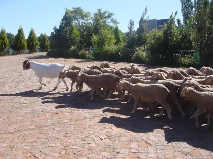 上图:一只「犹大山羊 Judas goat」在带领一群绵羊。绵羊天性喜欢盲目跟随,而犹大山羊是一只受过训练的山羊,可以把绵羊带到特定的目的地,比如屠宰场、特定的围栏和卡车上。这个术语出自出卖耶稣基督的门徒犹大。