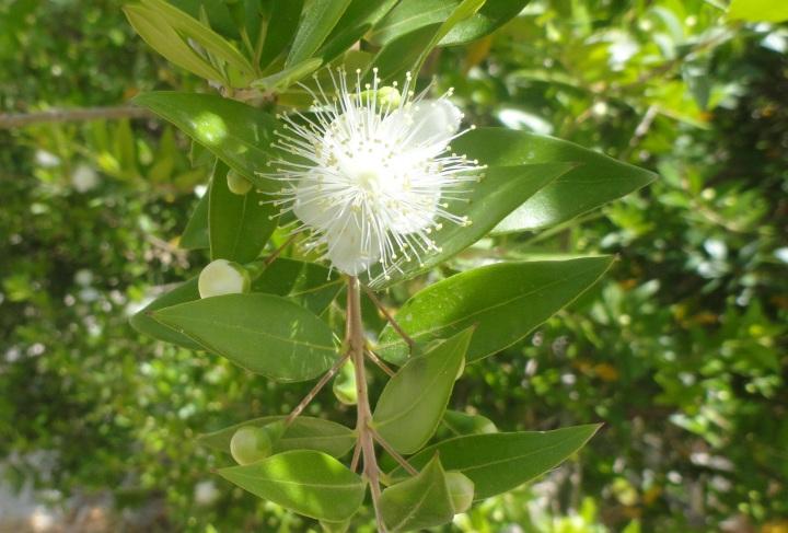 上图:以色列的番石榴花,就像一颗星星。波斯名「以斯帖」的意思是星星,希伯来名「哈大沙」的意思是番石榴。