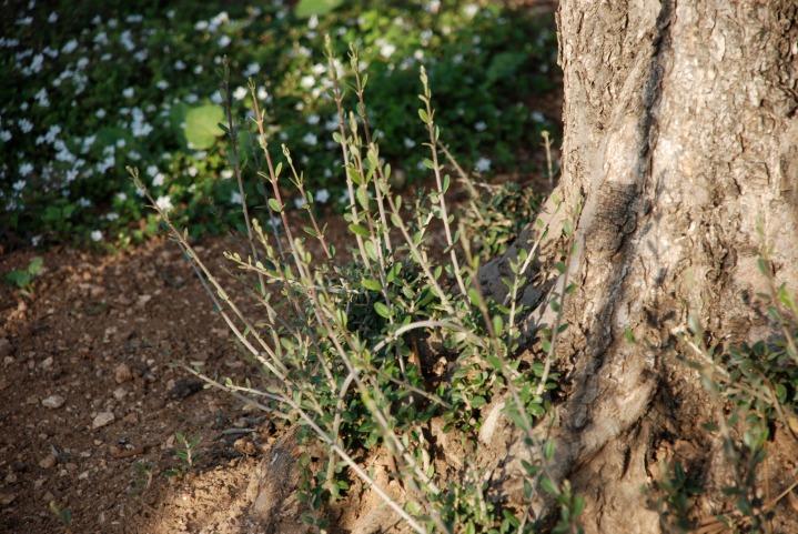 上图:客西马尼园古老的橄榄树根部所发出的橄榄栽子。